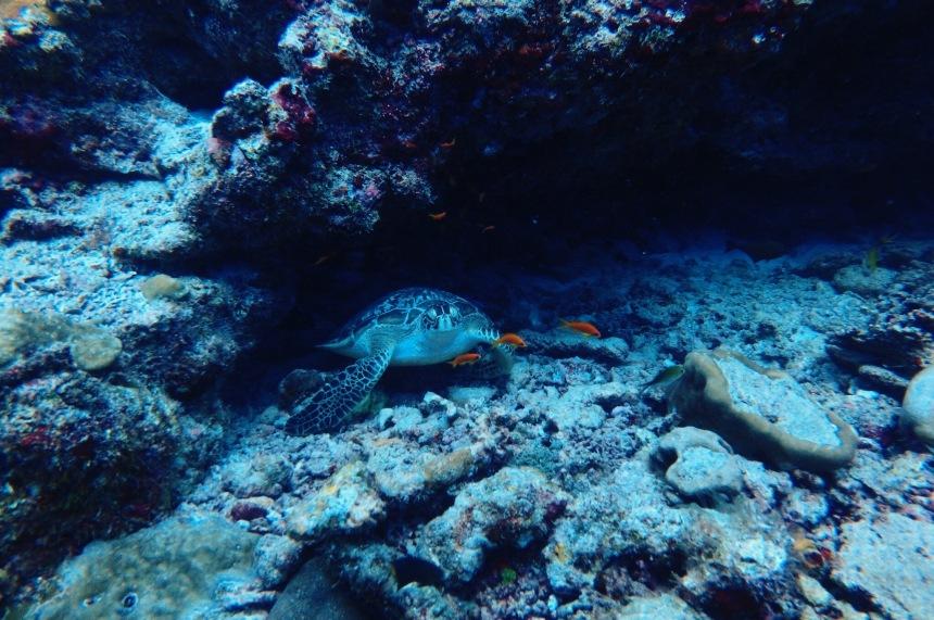 Turtle Maldives 2